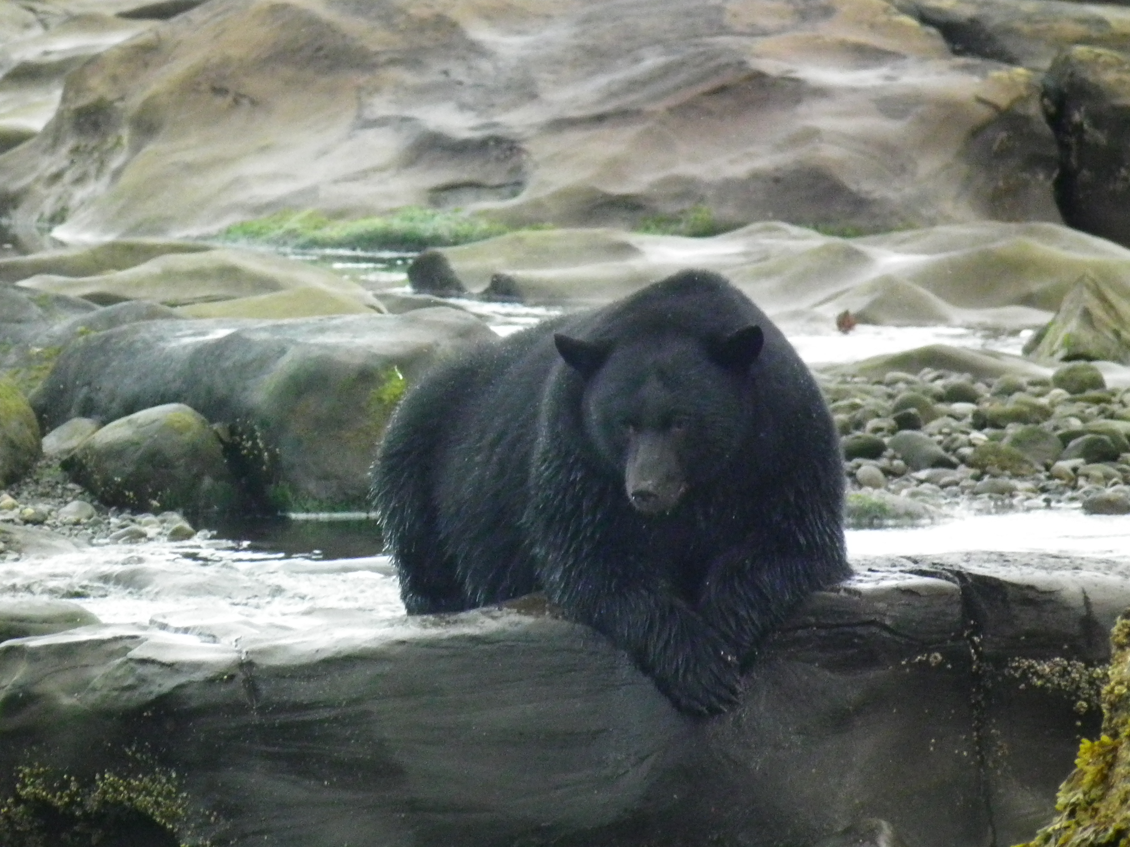 Bears On Vancouver Island Pictures